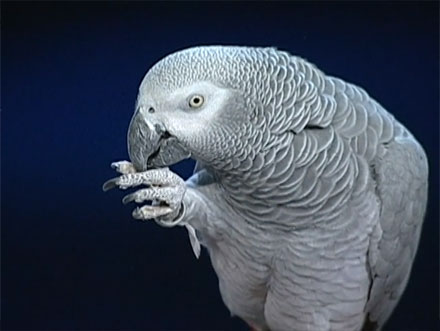 TED Talks: Einstein the Parrot Squacks and Talks (VIDEO)