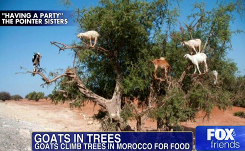 Fox & Friends Distracted by Goats in Trees (VIDEO)