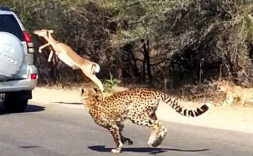Impala Fleeing Two Cheetahs Leaps into Tourist's Car (VIDEO)