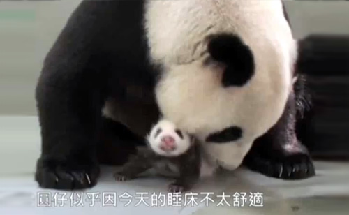 Panda Mother Cradles Cub for First Time after Reunion (VIDEO)