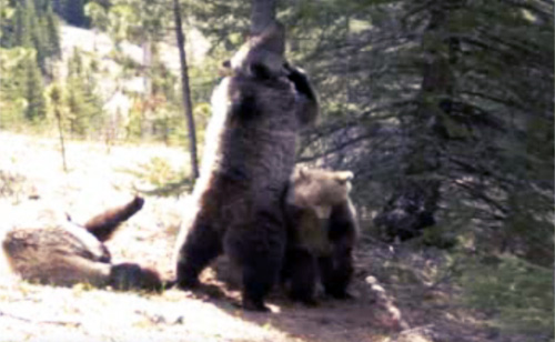 Canadian Bears Bust Out Dance Moves (VIDEO)