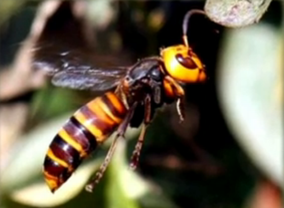 Giant Hornets Kill 42 and Injure Over 1,600 People