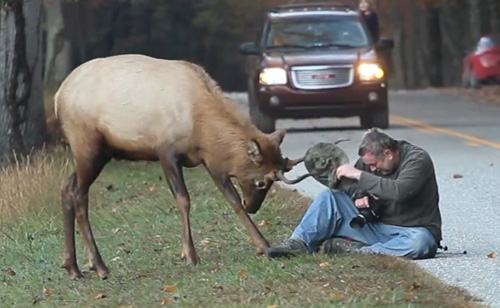 Photographer's Death-Defying Joust With An Elk