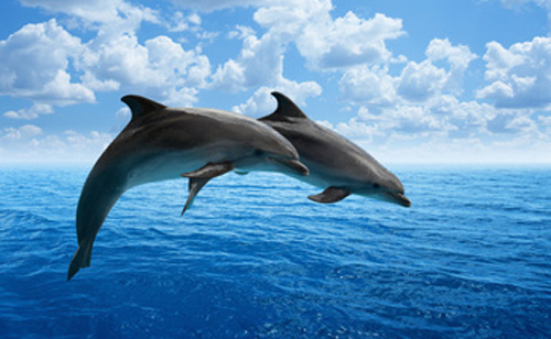 Puff Pass, Puff Pass: Young Dolphins Are Getting High
