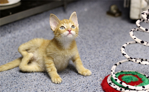 Kitten Born Unable To Walk Or Stand Gets Second Chance (VIDEO)