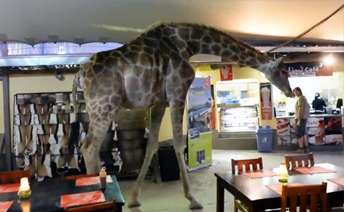 Giraffe Strolls Through Restaurant (VIDEO)