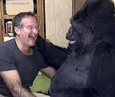 In Memoriam: Robin Williams & Koko The Gorilla Have A Tickle Fight – Video