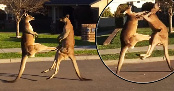 Watch 2 Kangaroos Slug It Out On A Suburban Street