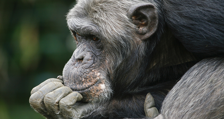 Watch What Might Happen When You Give A Chimp A Loaded Assault Rifle