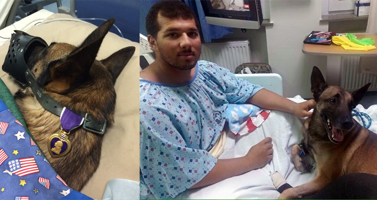 Photos Of Hospitalized Soldier And His Military Dog With Purple Heart Going Viral
