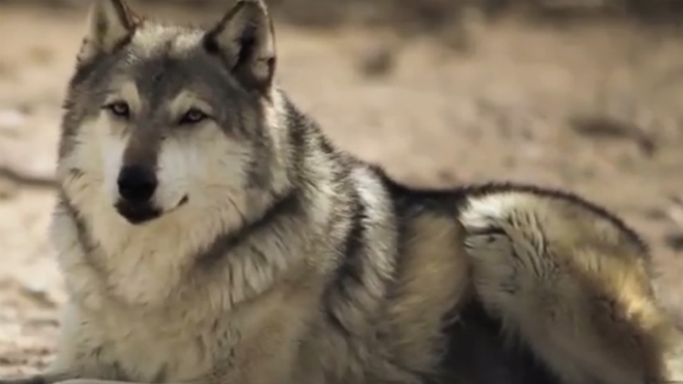 How 14 Wolves Changed Yellowstone National Park (Video)