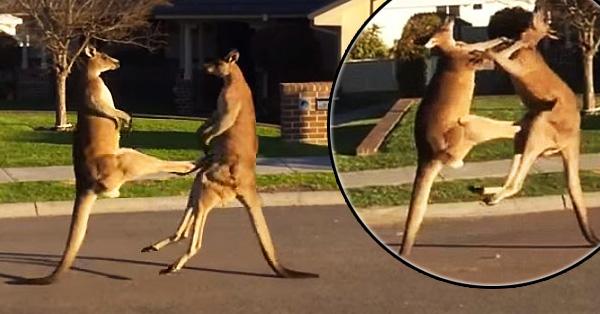 Watch 2 Kangaroos Slug It Out On A Suburban Street